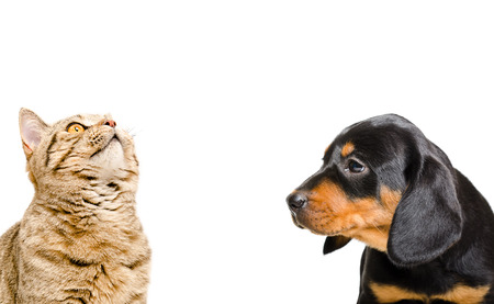 brown and black dog face: Portrait of Scottish Straight cat and puppy breed Slovakian Hound isolated on white background