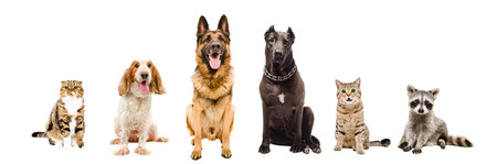 pitbull: Group of pets sitting together isolated on white background