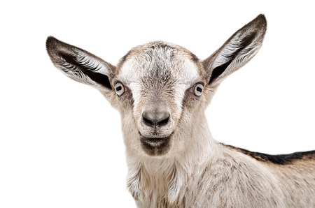 yeanling: Portrait of a young gray goat isolated on white background Stock Photo