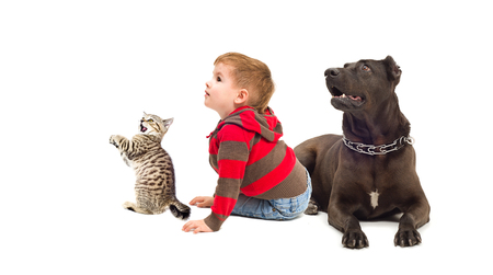 black and white pit bull: Curious boy, a dog and kitten isolated on white background Stock Photo