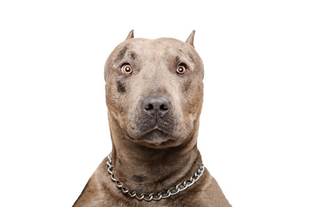 Portrait of a pitbull isolated on white background