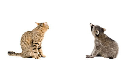 scottish straight: Scottish Straight cat and raccoon sitting together, rear view, isolated on white background