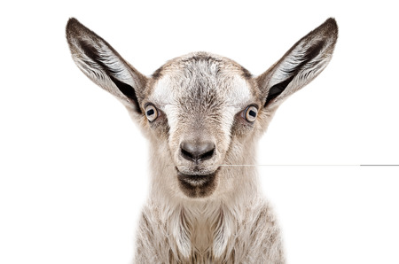 yeanling: Portrait of a young gray goat, closeup, isolated on white background