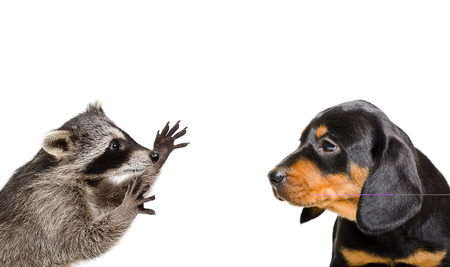 head profile: Portrait of playful raccoon and puppy breed Slovakian Hound isolated on white background