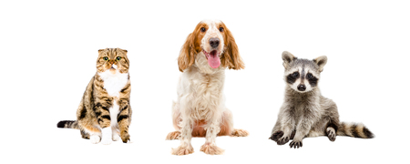 hunting cocker spaniel: Cat, dog and raccoon sitting together isolated on white background Stock Photo