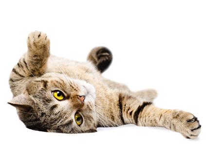 白い背景の上の猫スコットランド ストレート、彼の背中に横たわって分離 写真素材
