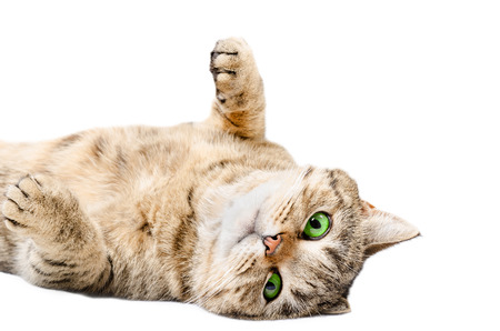 contented: Adorable cat Scottish Straight, lying on his back, isolated on white background