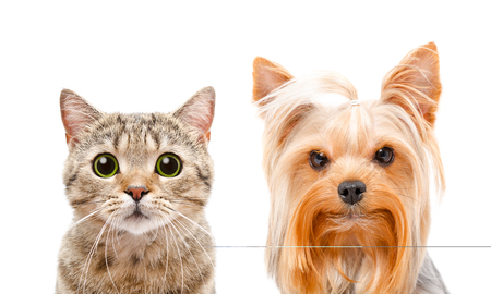 Portrait of cat Scottish Straight and Yorkshire terrier, closeup, isolated on white background Stock Photo