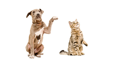 scottish straight: Funny puppy pit bull and curious cat Scottish Straight isolated on white background