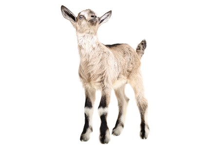 yeanling: Portrait of a young goat standing isolated on white background