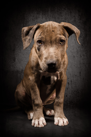 pit bull: Portrait of a pit bull puppy sitting on black background