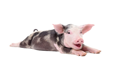 Portrait of a funny grunting pig lying isolated on white background Stockfoto