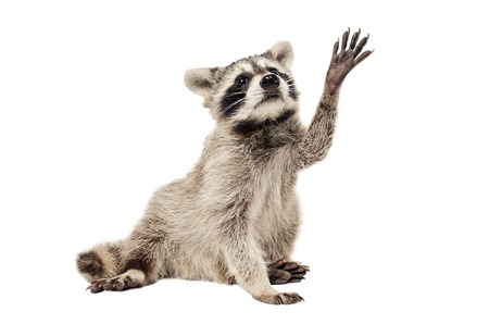 Raccoon with paw raised up isolated on white background