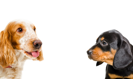 hunting cocker spaniel: Portrait of a Russian Spaniel and puppy breed Slovakian Hound, closeup, isolated on white background