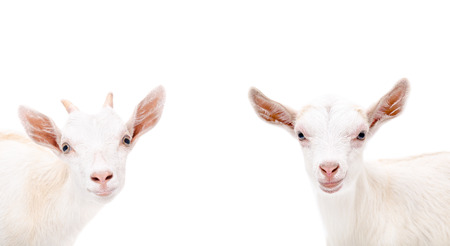 yeanling: Portrait of two cute white goat isolated on white background Stock Photo