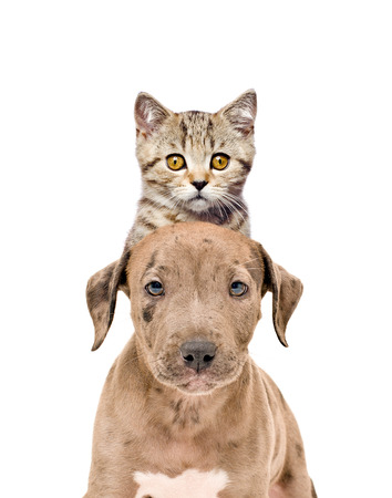 Funny portrait of a pit bull puppy and kitten Scottish Straight isolated on white background