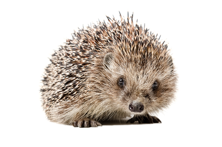 Portrait of a curious hedgehog isolated on white background Stock Photo