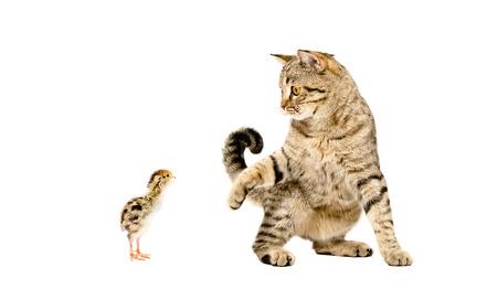 scottish straight: Playful cat Scottish Straight and quail isolated on white background Stock Photo