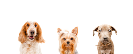 hunting cocker spaniel: Portrait of three dogs together isolated on white background