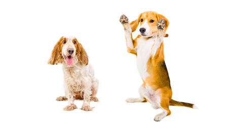 Russian Spaniel and Beagle together isolated on white background Stock Photo