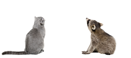fold back: Scottish Fold cat and raccoon sitting together, back view, isolated on white background Stock Photo