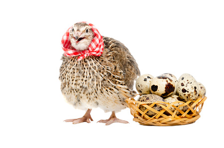 neckerchief: Quail in the neckerchief next to a basket of quail eggs isolated on white background