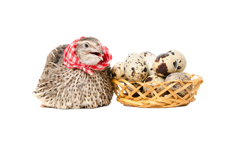 Quail in the neckerchief sitting next to a basket of quail eggs, isolated on white background