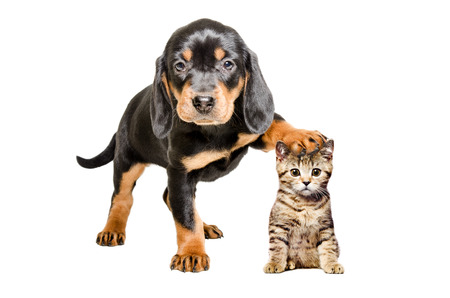 scottish straight: Puppy breed Slovakian Hound standing with paw on the head of a cat Scottish Straight, isolated on white background Stock Photo