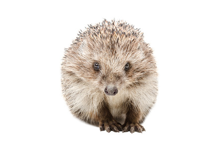 Portrait of a pretty hedgehog sitting isolated on white background Stock Photo