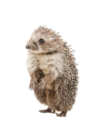 Funny hedgehog standing on his hind legs isolated on a white background