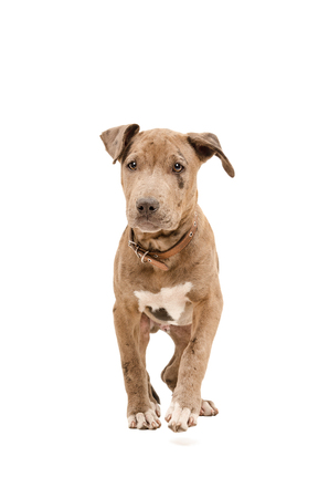 pit bull: Portrait of a pit bull puppy walking isolated on white background