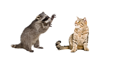 Funny raccoon and cat Scottish Straight isolated on white background Stock Photo