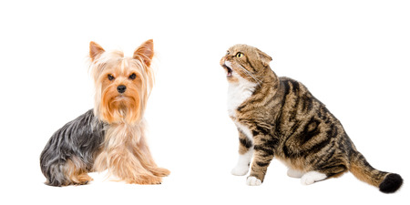 Yorkshire Terrier and funny cat Scottish Fold, isolated on white background