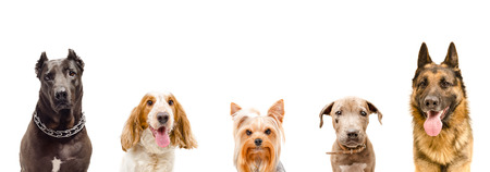 Portrait of dogs together, closeup, isolated on white background Stock Photo