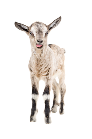 Funny gray goatling showing tongue standing isolated on white background Stock Photo