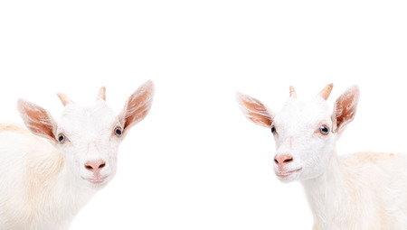 Portrait of a two curious young goat isolated on white background