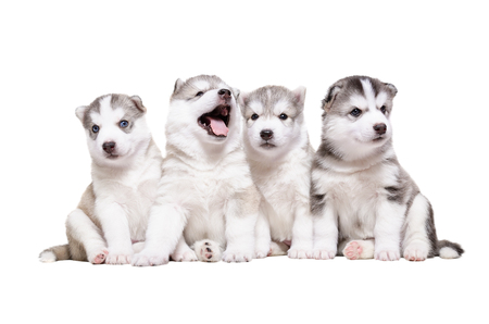 Four puppies breed the Huskies sitting isolated on white background