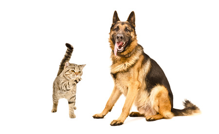 German Shepherd dog and playful cat Scottish Straight isolated on white background Stock Photo
