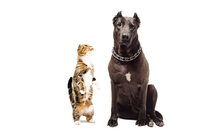 black and white pit bull: Staffordshire terrier and funny cat Scottish Fold isolated on white background