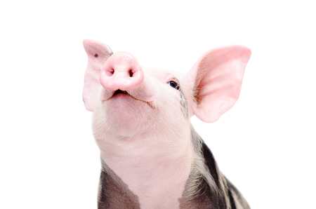 Portrait of a funny grunting pig, closeup, isolated on white background