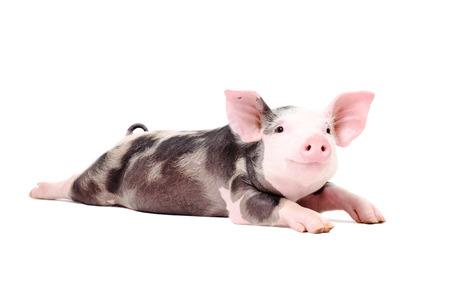 Ritratto di un maialino divertente, sdraiato con le gambe aperte, isolato su sfondo bianco Archivio Fotografico