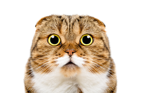 Portrait of funny cat Scottish Fold, closeup, isolated on white background Stock Photo