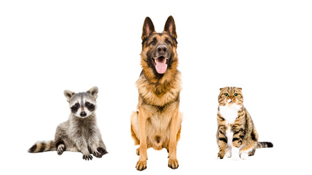 German Shepherd dog, cat and raccoon sitting together isolated on white background