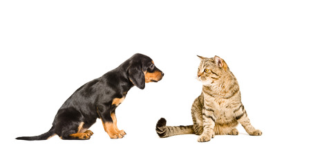 Puppy breed Slovakian Hound and cat Scottish Straight sitting together isolated on white background