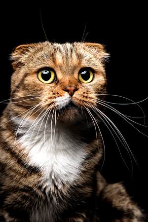 Portrait of Scottish Fold cat, closeup