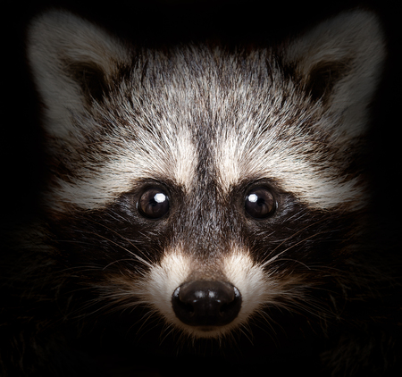 Portrait of a cunning raccoon closeup on a black background Stock Photo
