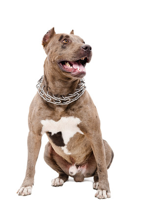 Portrait of a pit bull sitting isolated on white background Stock Photo