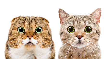 Portrait of cats Scottish Fold and Scottish Straight, closeup, isolated on white background Фото со стока - 65566038