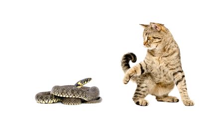 asp: Playful cat Scottish Straight and snake together isolated on white background Stock Photo