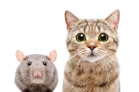 Retrato de un gato y una rata rectos escoceses, portarretrato, aislado sobre fondo blanco